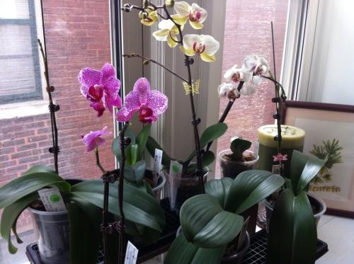 Орхидея домашних условиях цветение