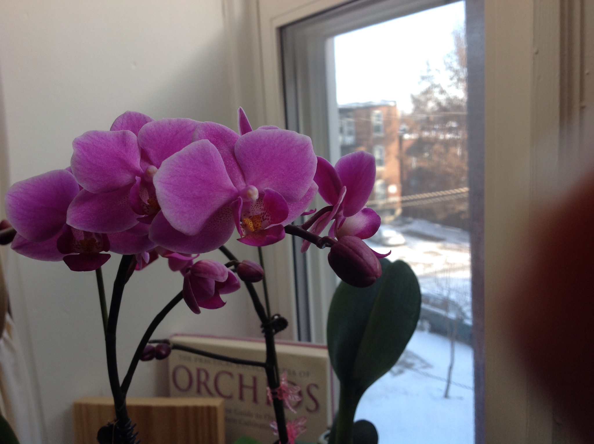 The Phalaenopsis or 'Moth Orchid' is the one of the most common  #2663A5
