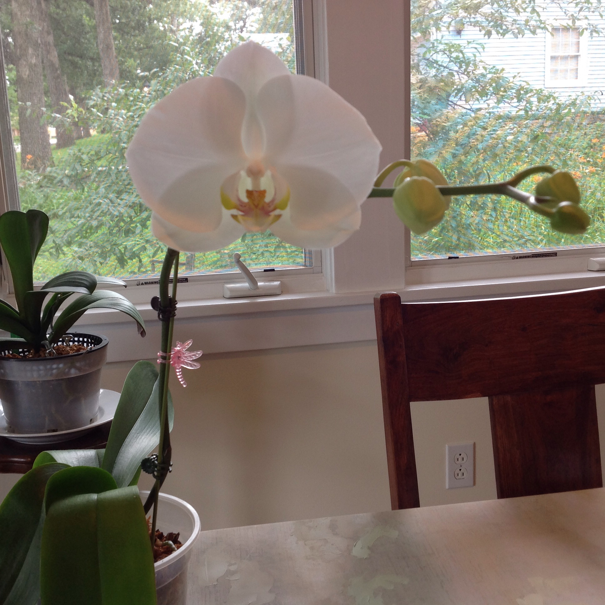 how to get a keiki on my orchid